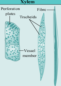 What is Xylem in plants