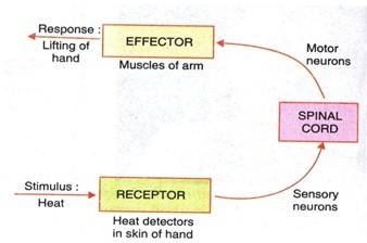 Working of Effector and Receptor