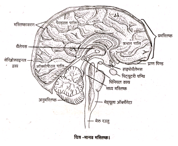 Structure and Functions of Human Brain