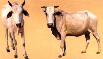 Bachaur cow