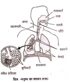 respiratory system of man