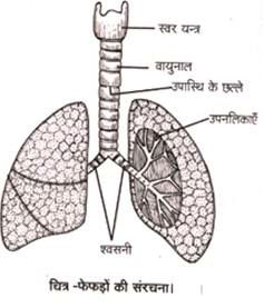 structure of lungs