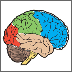 Functions of human brain ccuart Images