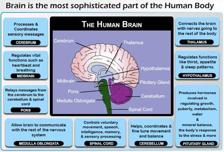 An overview of the brain and the different roles of its system