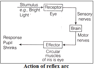 flow of electrical signal in reflex arc