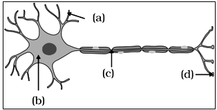 Labelled diagram of neuron