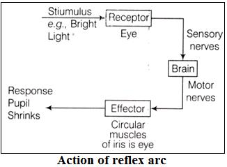 Action of Reflex Arc