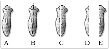 Reproduction in Planaria