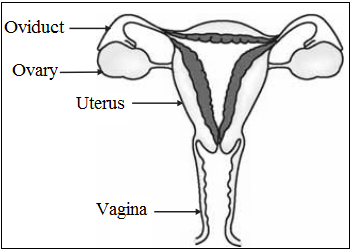 Labelled Diagram of Female Reproductive Organ