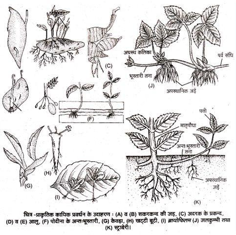 Natural Vegetative Progagation