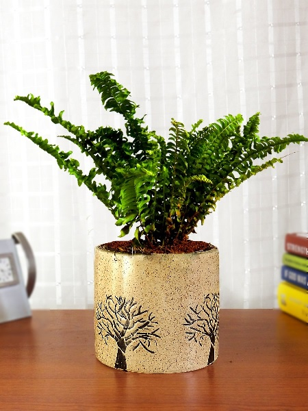 Air Purifying Fern Plant