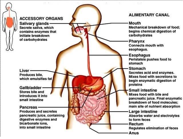 human digestive process