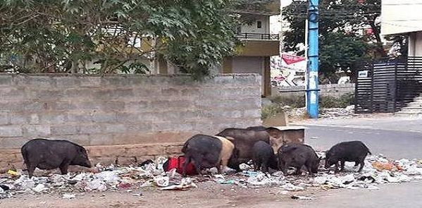 indian pigs
