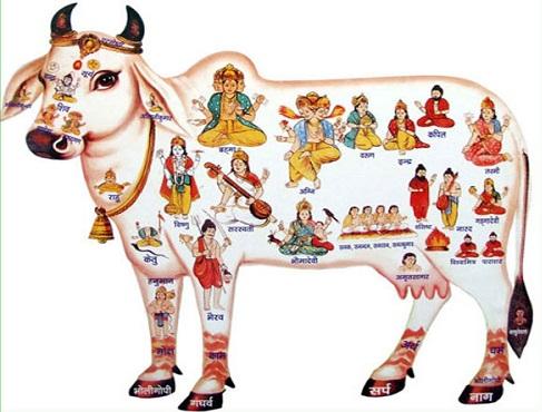 kaamdhenu cow