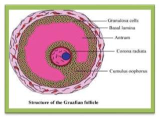 labelled diagram of a Graafian Follicle