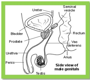 labelled diagram of male reproductive system