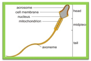 labelled diagram of sperm