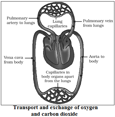 Exchange of gases in human heart
