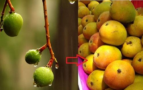 Mango showers