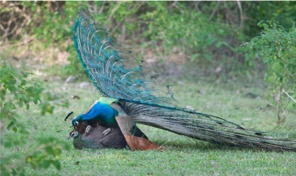 essay on our national bird peacock But only birds have feathers, among the till 1972, lion was the national animal of india when it comes to essay writing, an njhs essay sample in-depth research is a essay on our national bird peacock big deal.