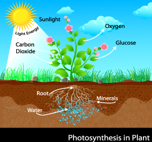 photosynthesis-in-plants