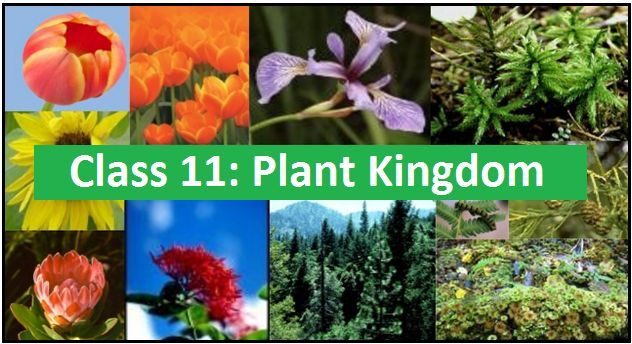 Plant Kingdom: NCERT Solutions