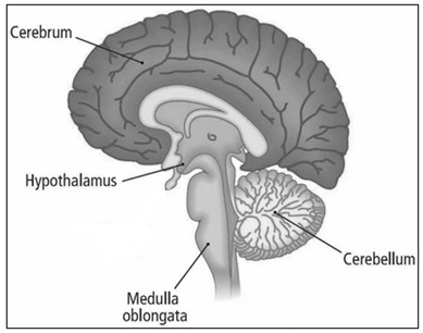 Short answer type questions for cbse class 10 science exam diagram of human brain with required labelling is given below ccuart Images