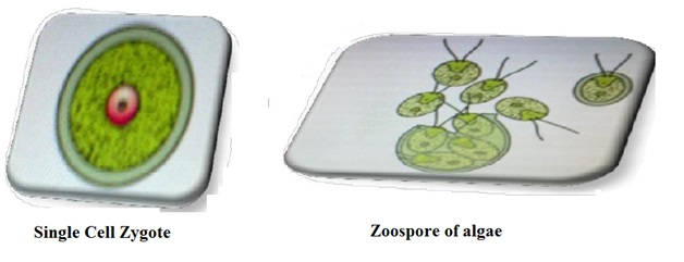Image of single cell Zygote and Zoospore of Algae