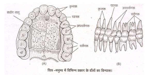 Dentition of Man