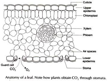 how carbon dioxide absorb by plants