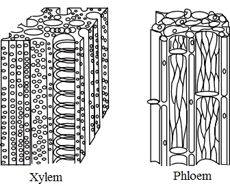 CBSE Class 9 Science notes for chapter 6 (Part-I) Xylem Tissue Type