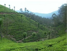 Why is tea grown over hill slopes? | CBSE