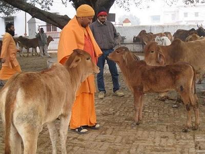 yogi with cows