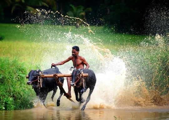 Jallikattu effect: Bullock cart racing not to be permitted in Maharashtra