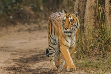 Uttarakhand records second highest tiger count in India