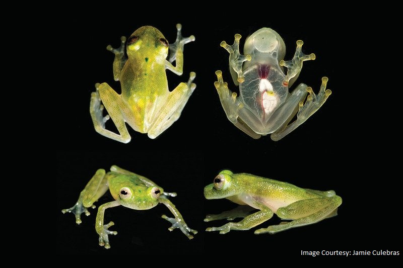 New glass frog species discovered in Ecuador
