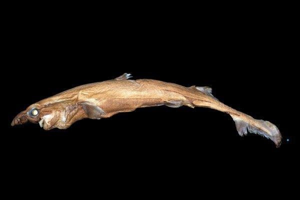 Scientists discover glow-in-the-dark shark in Pacific Ocean
