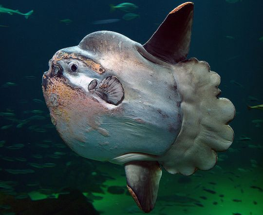 New giant ocean sunfish species discovered