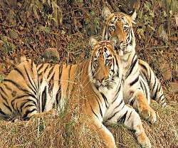 Tigers from Vidarbha region to be relocated to sanctuaries=