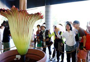 World's largest flower Amorphophallus Titanum bloomed at Jindai Botanical Gardens in Tokyo