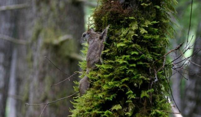 flying squirrel named Glaucomys Oregonensis