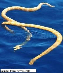sea snake species