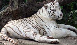 White Tiger Safari