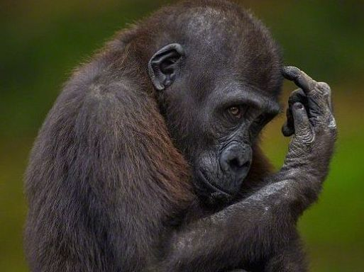 Origin of AIDS Chimpanzee - Origin and Evolution of AIDS