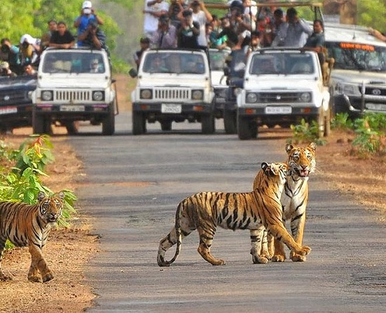jim-corbett-tigers