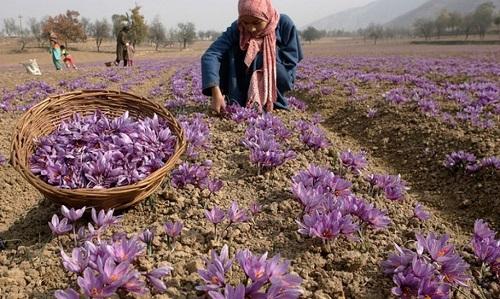 kashmiri-saffron-cultivation
