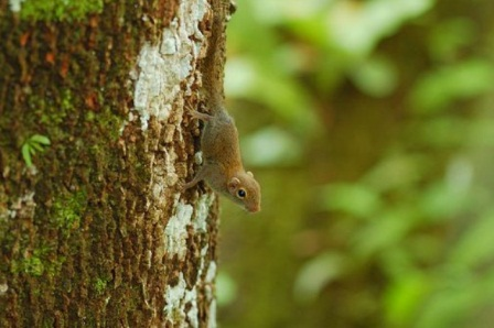 Image result for World's smallest squirrel discovered in Indonesia