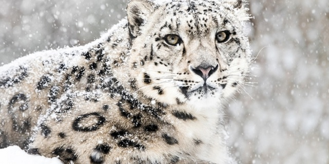 Endangered snow leopard population witnesses a rise